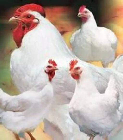 【专家在线】看鸡病要从生理入手方可根治!